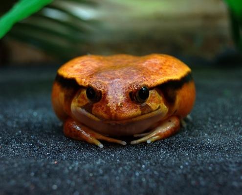 Лягушка-помидор (Dyscophus antongilii)