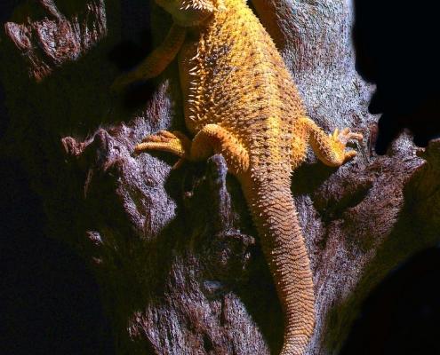 ородатая агама или бородатая ящерица (Pogona vitticeps)
