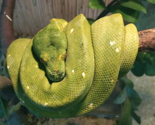 Зелёный питон или древесный питон (Morelia viridis)