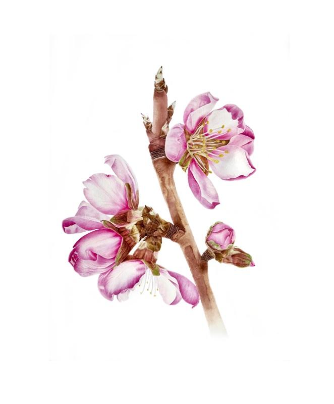 Выставка ботанической живописи и иллюстрации «Цветы. Легенды самураев»